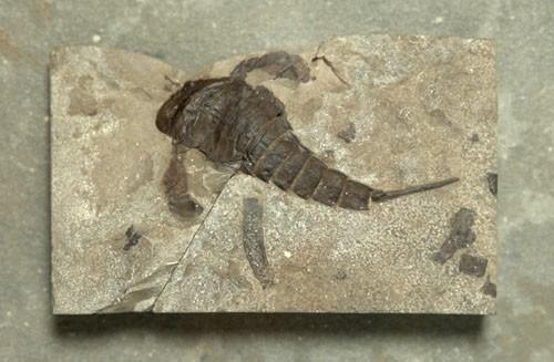 Sea Scorpion Fossil Sea scorpion Eurypterus