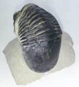 Paralejurus trilobite