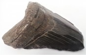 Megalodon Tooth 12