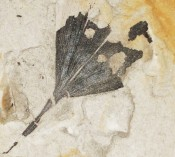 Partial Leaf Fossil
