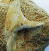 Enchodus Tooth