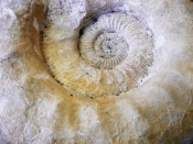 Huge Parkinsonia Ammonite