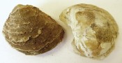 Pair fossil Oyster Shells