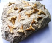Shark Teeth Otodus