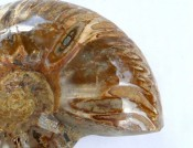 Polished Perisphinctes ammonite 5