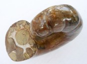 Polished Perisphinctes ammonite 7
