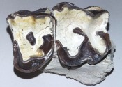 Hyracodon teeth