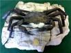 Archeogeryon Crab